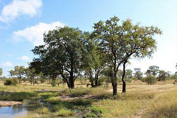 Bäume in Südafrika von Britney Suoss