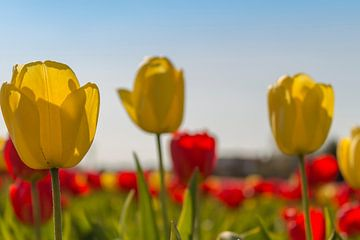 Tulpen van Maria Nevels