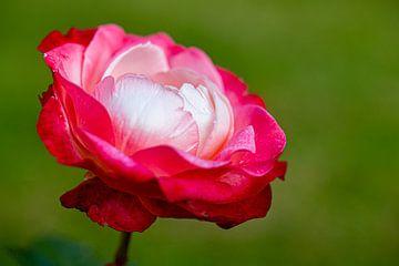 Rose van Dennis Eckert