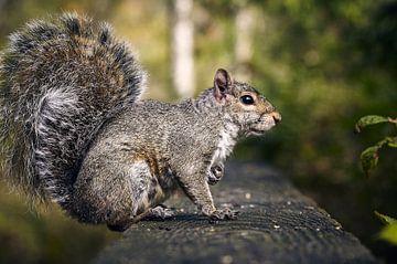 Herr Eichhörnchen von Graham Forrester