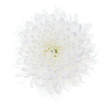 Weiße Chrysantheme auf weißem Hintergrund von Klaartje Majoor