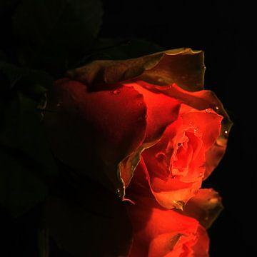 Roos roze van