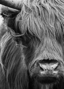 Schottische Highlander Porträt schwarz-weiß