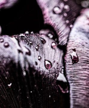 Regendruppels op een zwarte tulp van MirjamCornelissen - Fotografie