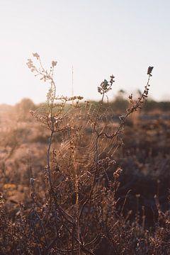 Spinnennetz im Heidekraut in der Morgensonne von Robin van Steen