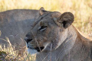 Löwenweibchen von GoWildGoNaturepictures
