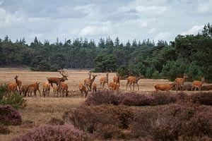 Herten bronst op het park de Hoge Veluwe van Eric Wander