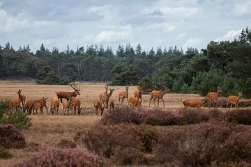 Hirschbrunst im Park der Hoge Veluwe von Eric Wander
