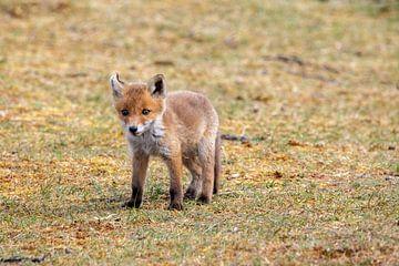 Fuchsjunges in den Dünen von Ed Klungers