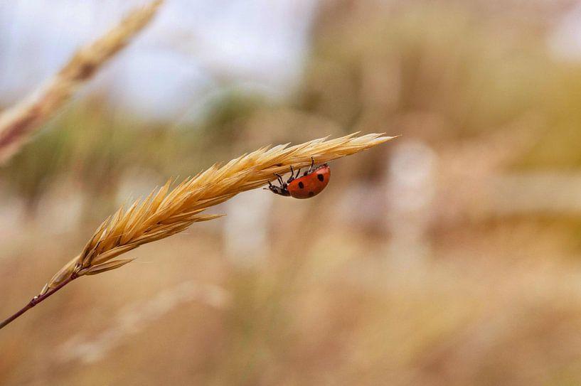 Lieveheersbeestje op Tarwe van Maaike Beveridge