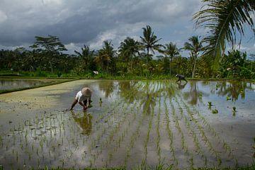 Rijst planten von Leanne lovink