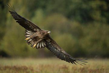 Seeadler ( Haliaeetus albicilla ), Jungvogel im Flug, Frontalaufnahme von wunderbare Erde