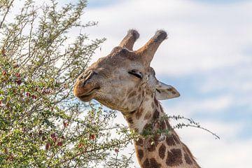 Afrikaanse Giraffe van Dennis Eckert