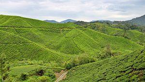 Theeplantage in Maleisië van Niels van den Berg