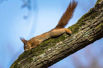 Eichhörnchen Stretching von Tobias Luxberg