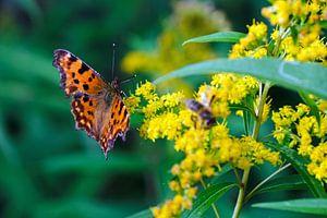Papillon sur Borg Enders