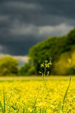 Koolzaad geel duistere lucht van Jefry Deuze