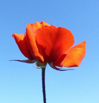 Rose von Annabella Rharbaoui