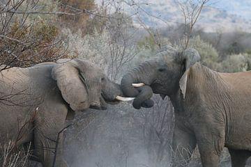 Vechtende olifanten in Pilanesberg National Parc Zuid Afrika van