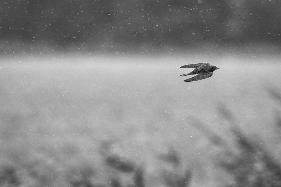 zwaluw in de regen