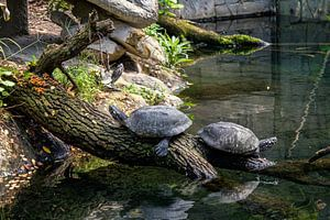 schildkröten von Roy Schmidt