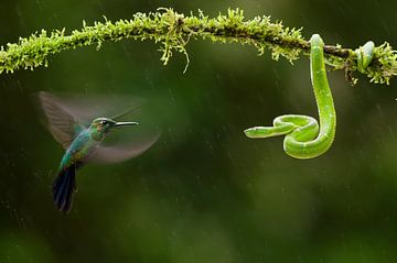 Groengele Groefkopadder en Groenkruinbriljantkolibrie van