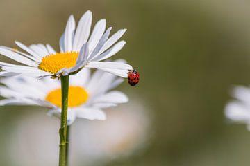 Lieveheersbeestje op een Margriet von Tiny Dekker