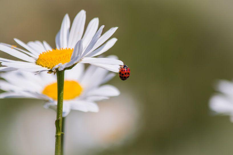 Lieveheersbeestje op een Margriet van Tiny Dekker