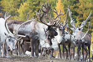 Tsaatan Reindeer