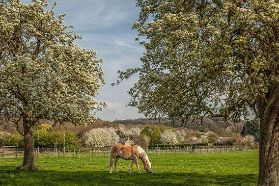 Limburgse hoogstamboomgaarden in bloei