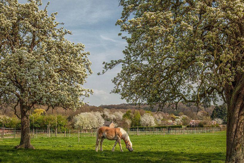 Limburgse hoogstamboomgaarden in bloei van John Kreukniet