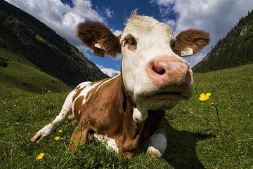 Une vache sent une fleur sur Cynthia Hasenbos
