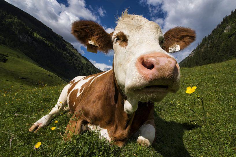 Een koe ruikt aan een bloem van Cynthia Hasenbos
