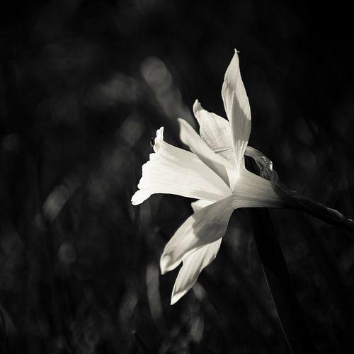 Darling of the Spring von Dick Nieswaag