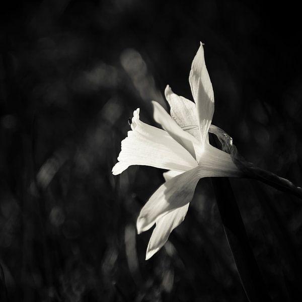 Darling of the Spring van Dick Nieswaag
