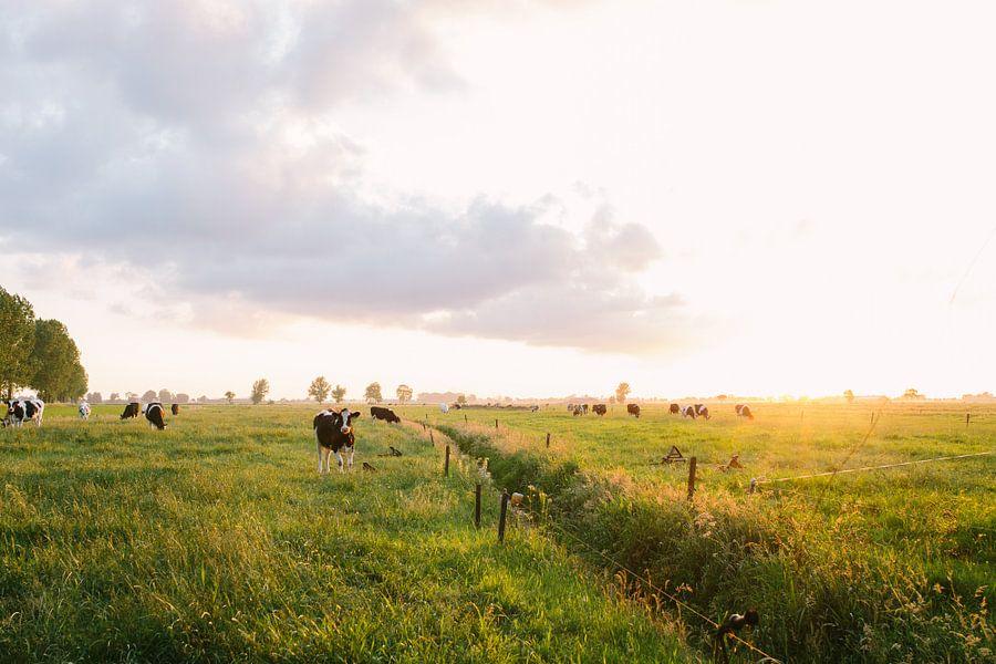 Koeien in de wei tijdens zonsondergang