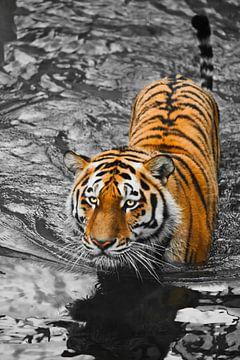 Tiger mit ausdrucksstarken Augen geht auf dem Wasser (badet), eine mögliche helle Körper eines Raubt von Michael Semenov