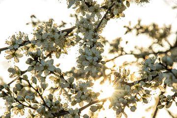 Bloesems bij ondergaande zon van Peter Heins