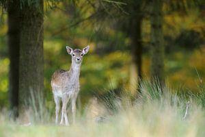 shy... young Fallow Deer *Dama dama*