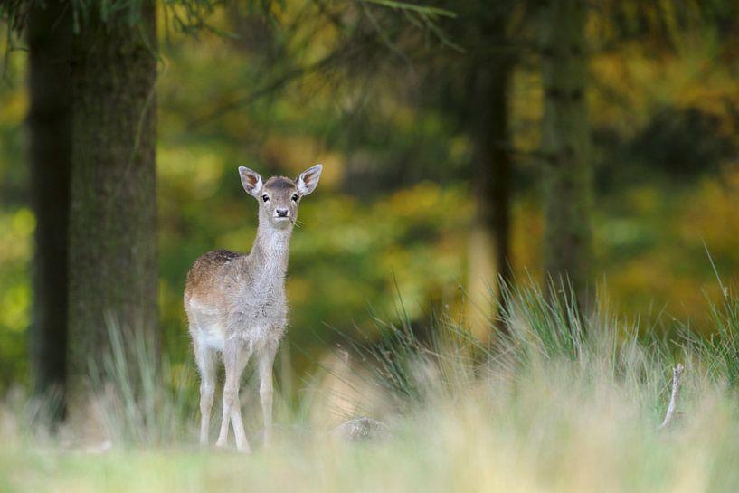 shy... young Fallow Deer *Dama dama* van wunderbare Erde