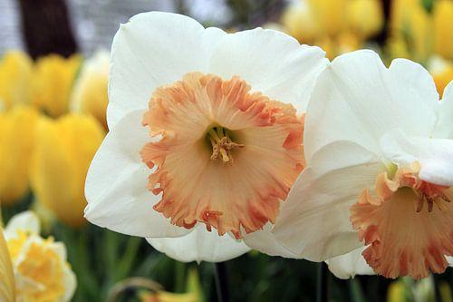 The White Narcissus van Cornelis (Cees) Cornelissen