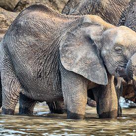 Jonge Olifant bij waterput van Chris Stenger