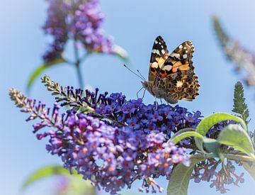 Distelvlinder op vlinderstruik van