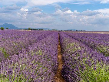 Eindeloze lavendelvelden in the provence, frankrijk