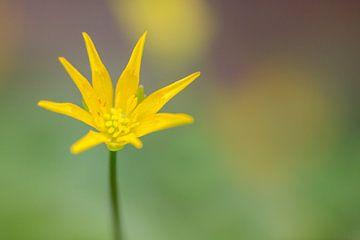Einfach verrückt (Ficaria verna subsp. Bulbilifer) von Carola Schellekens