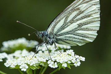 Weiße Blume mit Schmetterling von Fokko Erhart