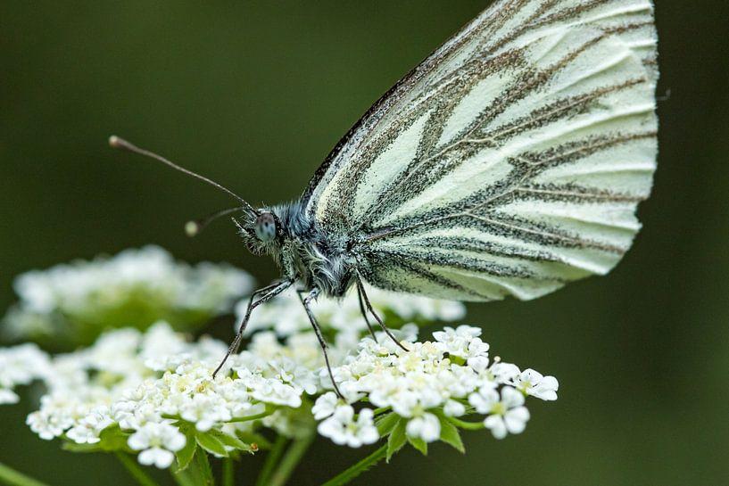 Witte bloem met vlinder van Fokko Erhart