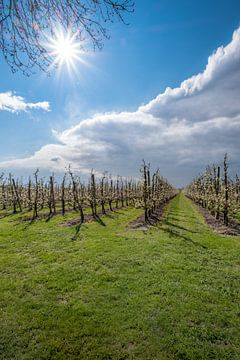 Zonnige fruitboomgaard in de Betuwe van Moetwil en van Dijk - Fotografie