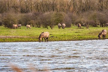 Konikpaarden van Brian Morgan