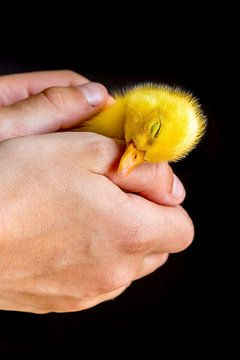 Pasgeboren kuiken van eend slaapt in handen van Ben Schonewille